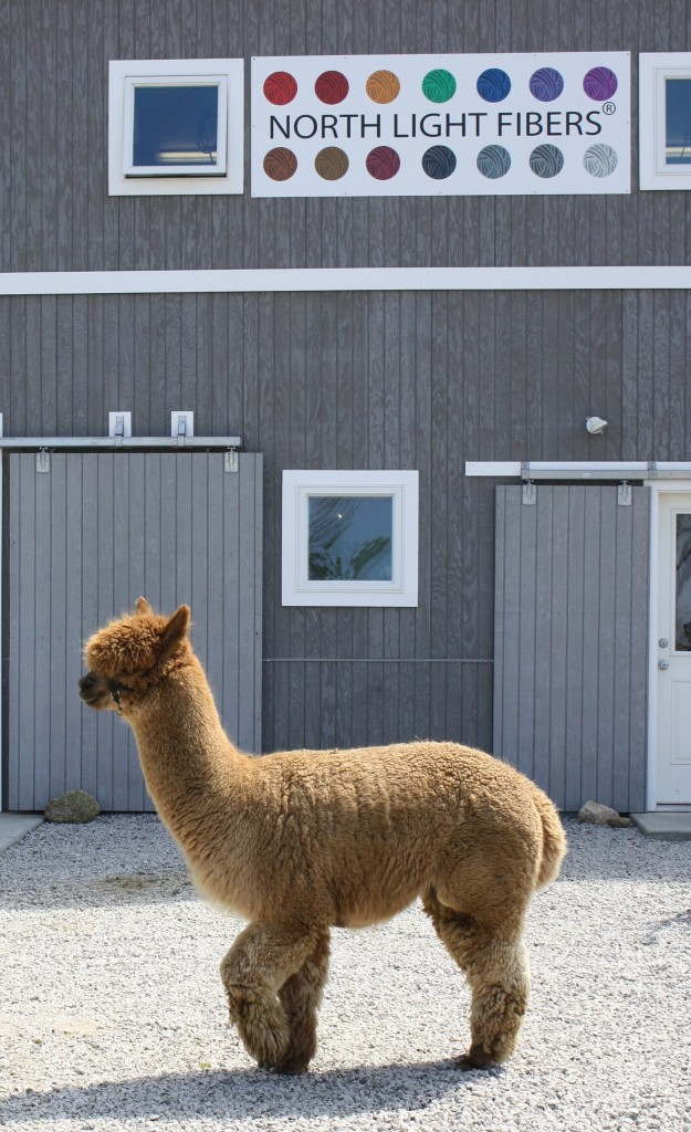 A - alpaca and barn