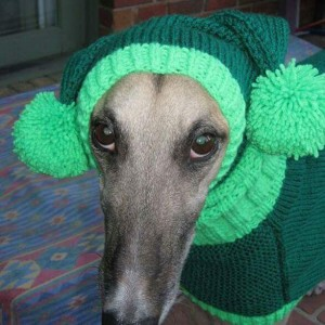 Greyhound in hat and sweater - Image credit Jan Brown